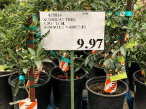 KumquatTree-435014