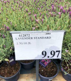 Lavender Plant- 412872